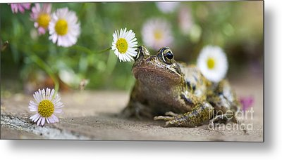 Frog And The Daisy  Metal Print by Tim Gainey