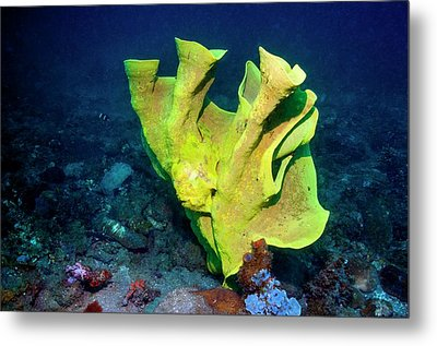 Frogfish Camouflaged On Sponge Metal Print by Georgette Douwma