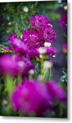 Fuschia Mums 1 Metal Print by Jessica Velasco