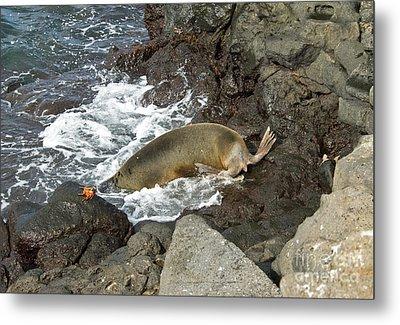 Galapagos Sea Lion Metal Print by William H. Mullins
