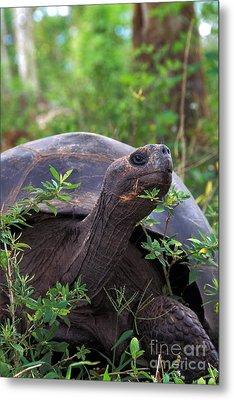 Galapagos Tortoise Metal Print by Mark Newman