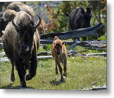 Gallopin Bison Mom And Calf Metal Print by Bruce Gourley