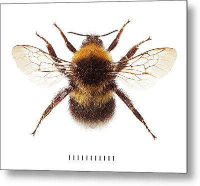 Garden Bumblebee Metal Print by Natural History Museum, London
