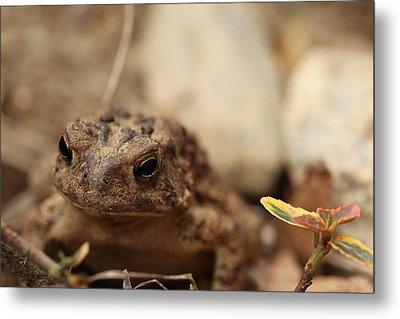 Garden Frog Metal Print by Karol Livote