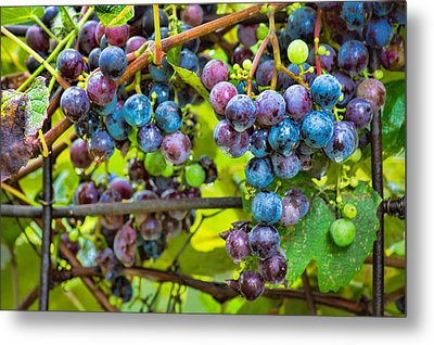 Garden Grapes Metal Print by Bill Pevlor