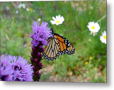 Gayfeathers And Butterfly Metal Print by Sandra Updyke
