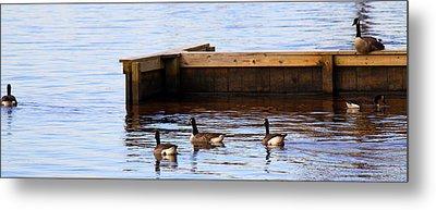 Geese Swimming Metal Print by Carolyn Ricks