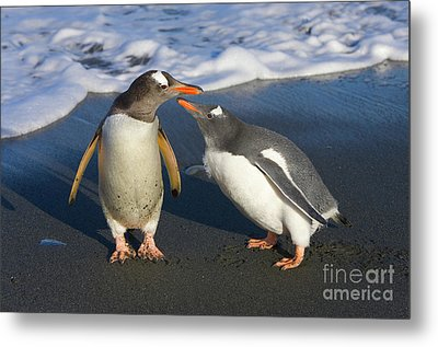Gentoo Penguin Chick Begging For Food Metal Print by Yva Momatiuk and John Eastcott