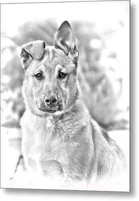 German Shepard Puppy Metal Print by James BO  Insogna
