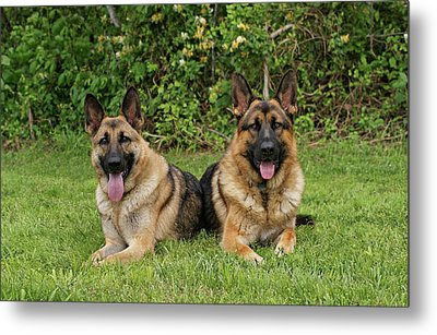 German Shepherds - Mother And Son Metal Print by Sandy Keeton