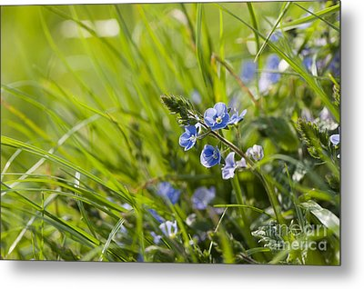 Germander Speedwell Metal Print by Anne Gilbert