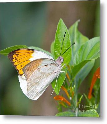 Giant Orange Tip Butterfly Metal Print by Jane Rix