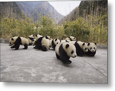 Giant Panda Cubs Wolong China Metal Print by Katherine Feng