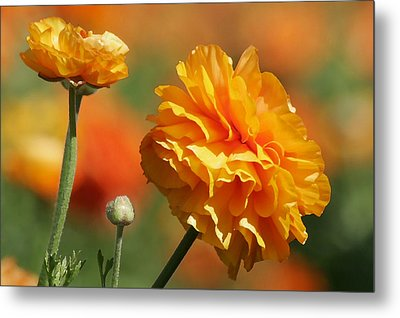 Giant Tecolote Ranunculus - Carlsbad Flower Fields Ca Metal Print by Christine Till