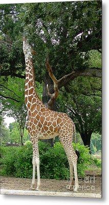 Giraffe Eats-09053 Metal Print by Gary Gingrich Galleries