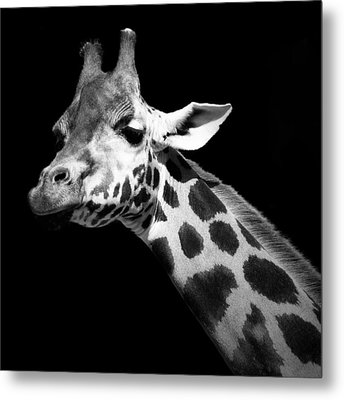 Portrait Of Giraffe In Black And White Metal Print by Lukas Holas