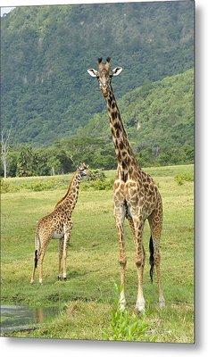Giraffe Mother And Calftanzania Metal Print by Thomas Marent