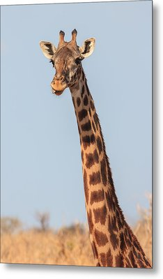 Giraffe Tongue Metal Print by Adam Romanowicz