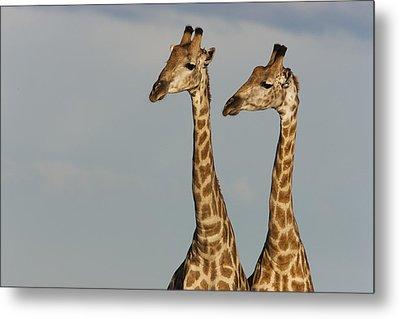 Giraffes Nxai Pan Np Botswana Metal Print by Theo Allofs
