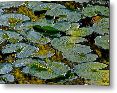 Golden Lilly Pads Metal Print by Frozen in Time Fine Art Photography