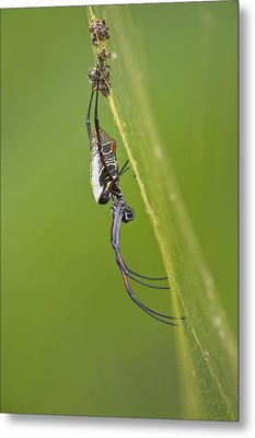 Golden Orb-weaver Spider Metal Print by Science Photo Library