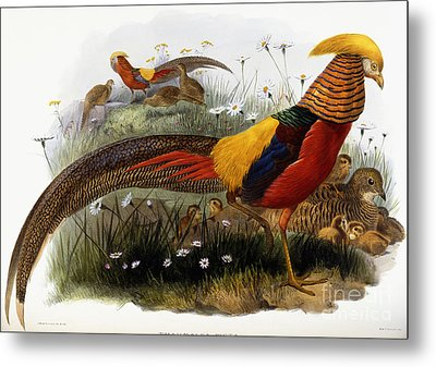 Golden Pheasants Metal Print by Joseph Wolf