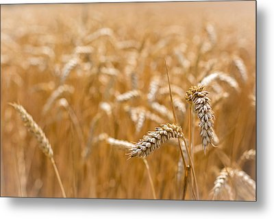 Golden Wheat. Metal Print by Gary Gillette