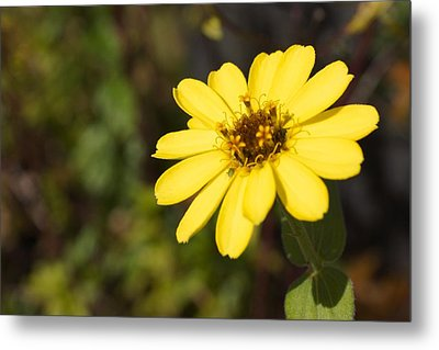 Golden Zinnia Metal Print by Photographic Arts And Design Studio