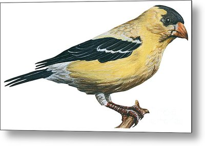 Goldfinch  Metal Print by Anonymous