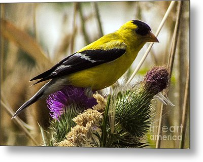 Goldfinch Atop A Purple Thistle Metal Print by Darleen Stry