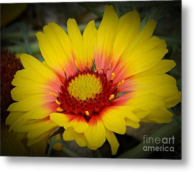 Gorgeous Daisy Metal Print by Chalet Roome-Rigdon