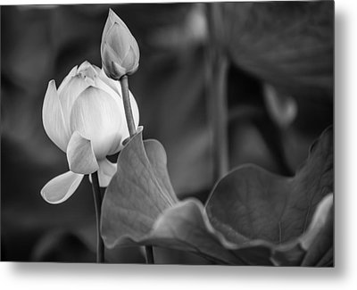 Graceful Lotus. Balck And White. Pamplemousses Botanical Garden. Mauritius Metal Print by Jenny Rainbow