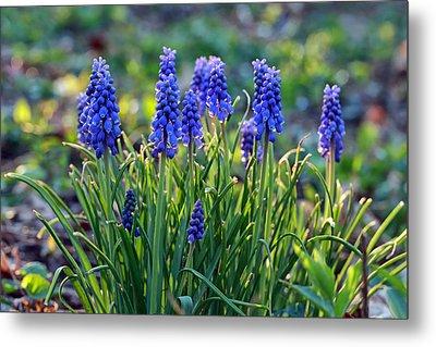Grape Hyacinths Metal Print by Jaki Miller