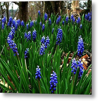 Grape Hyacinths Metal Print by Julie Dant