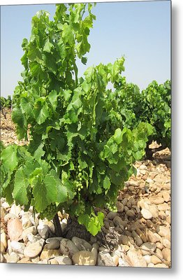 Grape Plant Metal Print by Pema Hou