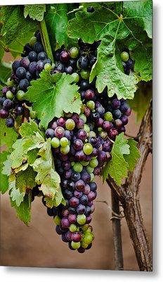 Grape Veraison Metal Print by Swift Family
