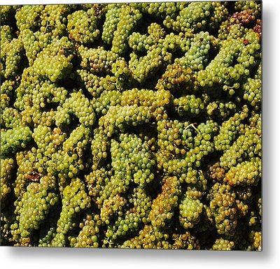 Grapes In A Vineyard, Domaine Carneros Metal Print by Panoramic Images