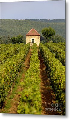 Grapevines. Premier Cru Vineyard Between Pernand Vergelesses And Savigny Les Beaune. Burgundy. Franc Metal Print by Bernard Jaubert