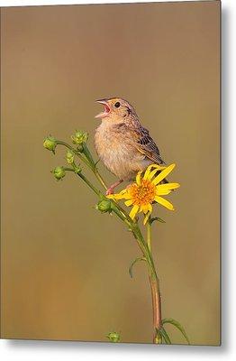 Grasshopper Sparrow Singing Metal Print by Daniel Behm