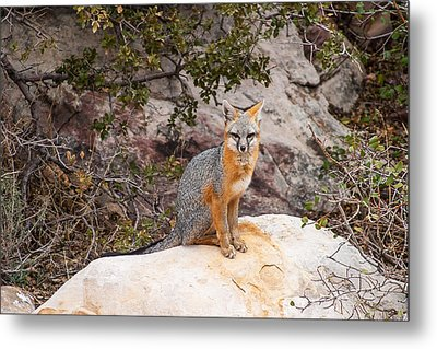 Gray Fox II Metal Print by James Marvin Phelps