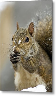 Gray Squirrel - D008392  Metal Print by Daniel Dempster