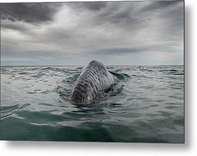 Gray Whale Breaching Metal Print by Christopher Swann