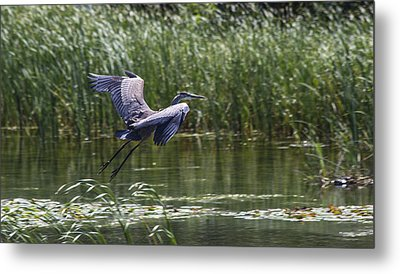 Great Blue Heron Metal Print by Michel DesRoches
