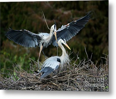 Great Blue Herons Nesting Metal Print by Sabrina L Ryan