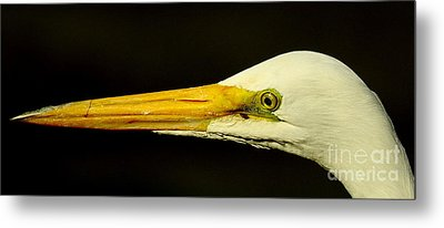Great Egret Head Metal Print by Robert Frederick