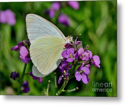 Great Southern White Butterfly Metal Print by Kathy Baccari