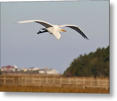 Great White Egret Incoming Metal Print by Paulette Thomas