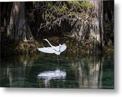 Great White Heron In Flight Metal Print by Charles Warren