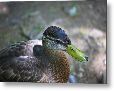 Green-billed Duck Metal Print by John Hoey