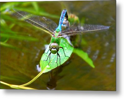 Green Darner Dragonfly Metal Print by Christina Rollo